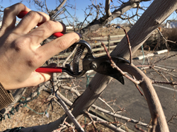Prune in early spring, late winter for a healthy tree