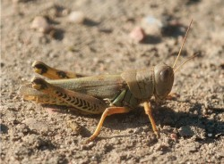differential-grasshopper