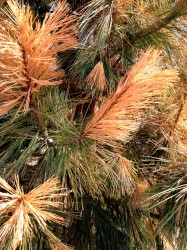 Freeze damage on a Southwestern White Pine. Note the damage is present on the tips of branches while the interior needles remain green.