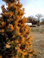 Freeze damage on a Southwestern White Pine. Note the damage is not limited to just one side of the tree.