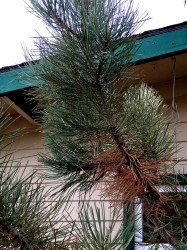 This pine is showing needle cast. Notice the brown needles are lower on the branch while the healthy green needles are closer to the tip.
