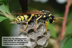 European Paper Wasp_NL