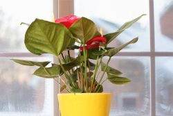 Winter watering for Houseplants