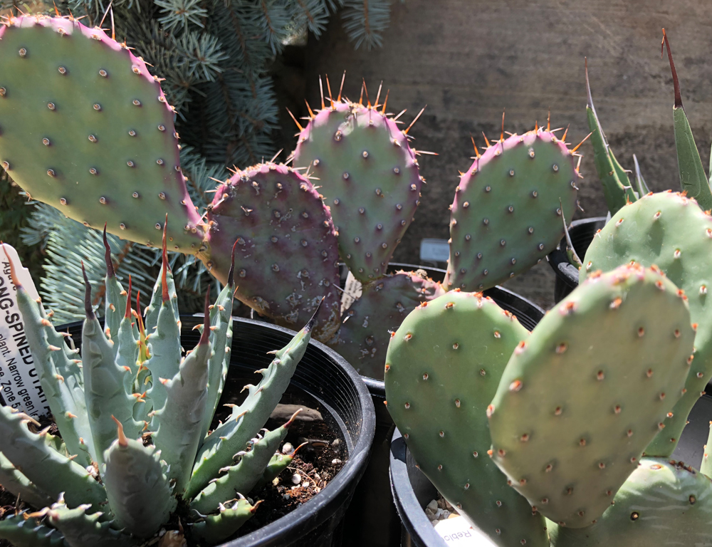 Cactus Agave From Cold Hardy Cactus Fort Collins Nursery